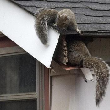 Wildlife control raccoons
